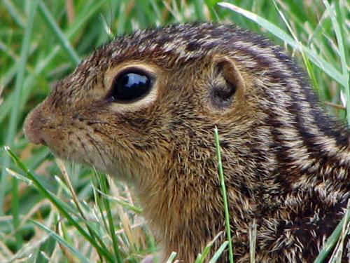 Super-cute thirteen-lined Ground Squirrel at Wolfstad.com