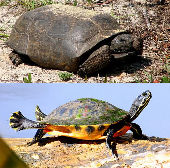 tortoise-vs-cooter
